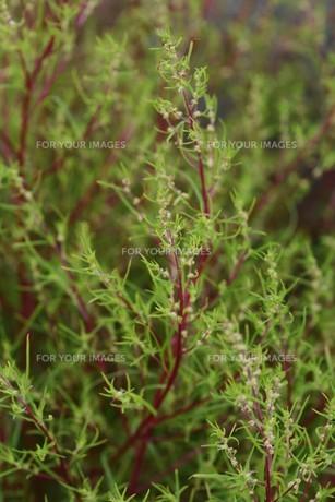 ホウキギ(箒木)・植物の背景素材の写真素材 [FYI01213092]