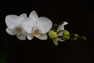 蘭の花の写真素材 [FYI01213299]