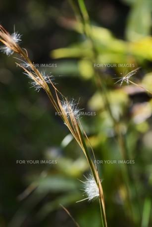 メリケンカルカヤ(米利堅刈萱)の写真素材 [FYI01213305]