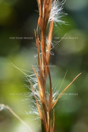 メリケンカルカヤ(米利堅刈萱)の写真素材 [FYI01213306]