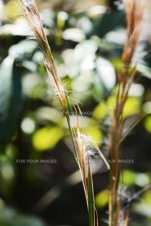 メリケンカルカヤ(米利堅刈萱)の写真素材 [FYI01213308]