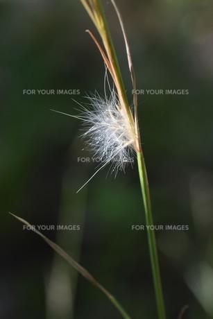 メリケンカルカヤ(米利堅刈萱)の写真素材 [FYI01213311]