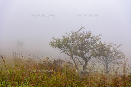 霧の中の木の写真素材 [FYI01213474]