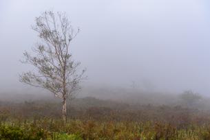 霧の中の白樺の写真素材 [FYI01213475]