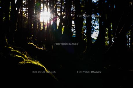 朝日に照らされる森の中の苔の写真素材 [FYI01213518]