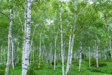 白樺の森の写真素材 [FYI01213543]