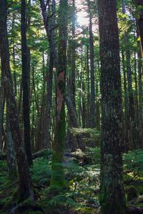 薄暗い苔の森の写真素材 [FYI01213546]