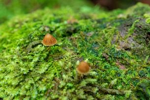 小さな森の小さなきのこの写真素材 [FYI01213550]