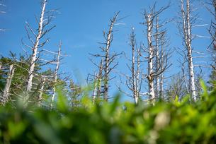 立ち枯れの白樺を仰ぎ見るの写真素材 [FYI01213555]