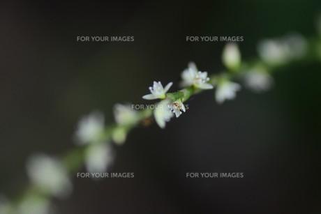 白い水引草の写真素材 [FYI01213577]