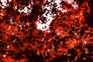 風景 背景 自然 植物 紅葉 秋 赤 紅 自然 もみじの写真素材 [FYI01213579]