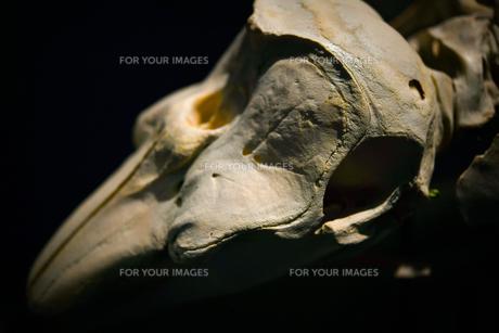 骨の写真素材 [FYI01213687]
