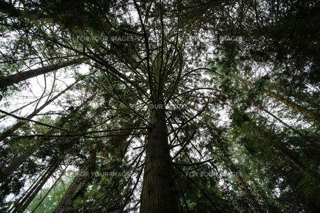 森林を仰ぐの写真素材 [FYI01213834]