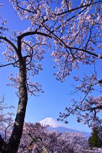 新倉山ハイキングコースから見る満開の桜と富士山の写真素材 [FYI01214041]