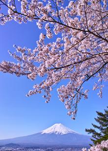 新倉山ハイキングコースから見る満開の桜と富士山の写真素材 [FYI01214043]