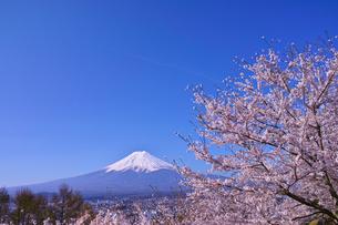 新倉山ハイキングコースから見る満開の桜と富士山の写真素材 [FYI01214045]