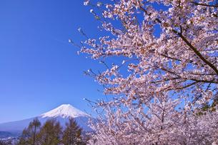 新倉山ハイキングコースから見る満開の桜と富士山の写真素材 [FYI01214046]