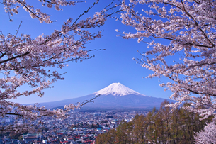 新倉山ハイキングコースから見る満開の桜と富士山の写真素材 [FYI01214051]