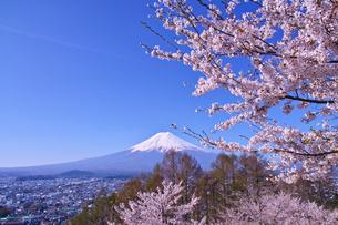 新倉山ハイキングコースから見る満開の桜と富士山の写真素材 [FYI01214053]