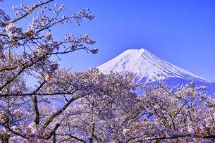 新倉山ハイキングコースから見る満開の桜と富士山の写真素材 [FYI01214054]