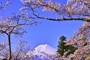 新倉山ハイキングコースから見る満開の桜と富士山の写真素材 [FYI01214055]