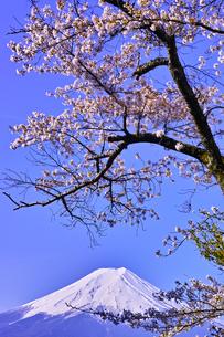 新倉山ハイキングコースから見る満開の桜と富士山の写真素材 [FYI01214056]