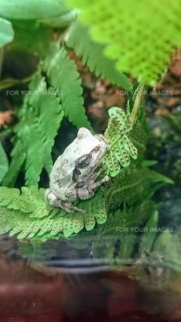 蛙(緑)の写真素材 [FYI01214105]
