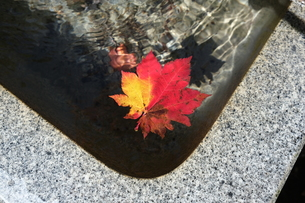 水中の楓の写真素材 [FYI01214210]