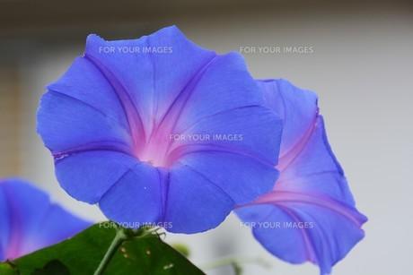 朝顔 / 花の背景素材の写真素材 [FYI01214279]
