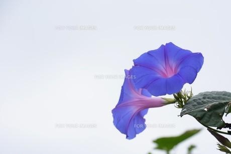 朝顔 / 花の背景素材の写真素材 [FYI01214280]