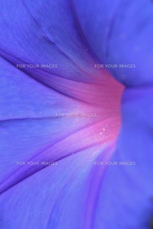 朝顔 / 花の背景素材の写真素材 [FYI01214285]