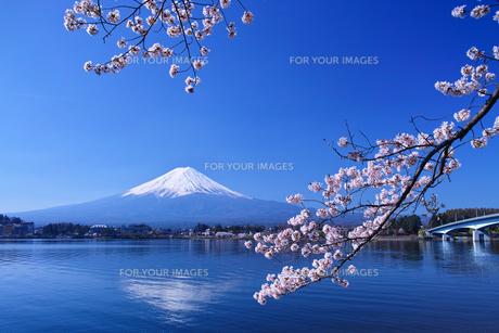 河口湖北岸の産屋ヶ崎から見る満開の桜と富士山の写真素材 [FYI01214457]