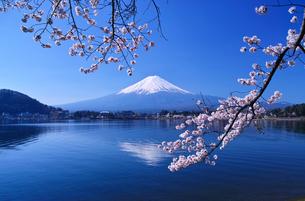 河口湖北岸の産屋ヶ崎から見る満開の桜と富士山の写真素材 [FYI01214459]