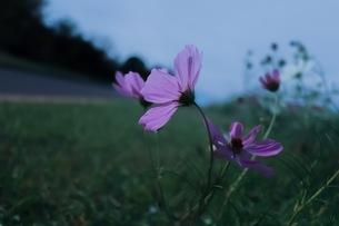 コスモスの花の写真素材 [FYI01215026]