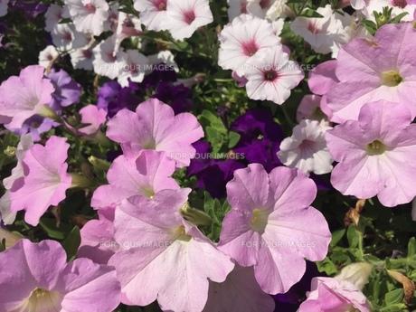 お花畑の写真素材 [FYI01215065]