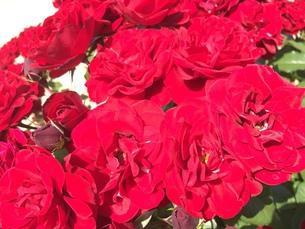 お花畑の写真素材 [FYI01215066]