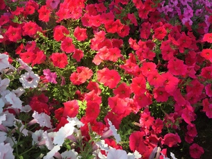 お花畑の写真素材 [FYI01215067]