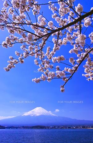 河口湖北岸から見る満開の桜と富士山の写真素材 [FYI01215107]