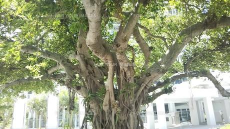 ガジュマルの木の写真素材 [FYI01215112]