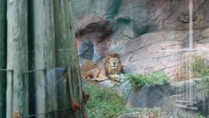 ライオンの写真素材 [FYI01215347]