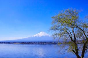 河口湖北岸から見る富士山と緑の木の写真素材 [FYI01215389]