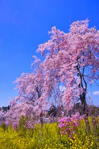 ピンク色の満開の八重桜の写真素材 [FYI01215392]