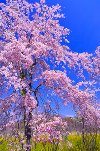 ピンク色の満開の八重桜の写真素材 [FYI01215393]