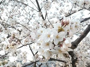 桜 空 春の写真素材 [FYI01215578]