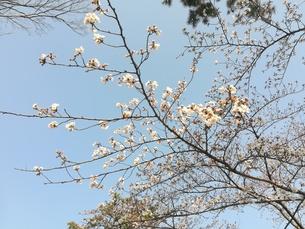 桜 空 春の写真素材 [FYI01215579]