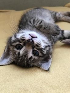 ごろーん子猫の写真素材 [FYI01215607]