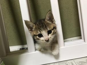 子猫がひょこっとの写真素材 [FYI01215744]