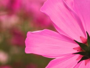 秋桜の後姿の写真素材 [FYI01215910]