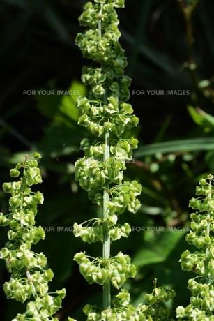 ギシギシ(羊蹄草)の果実 ・ タデ科の雑草 若芽は食用 根は薬用の写真素材 [FYI01215934]