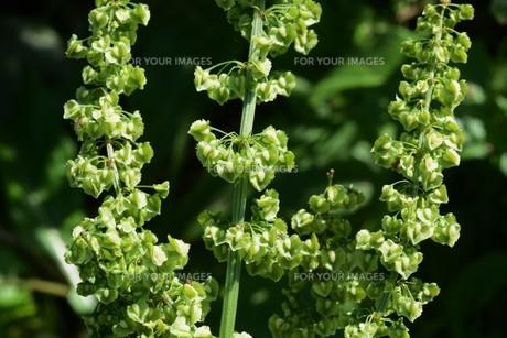 ギシギシ(羊蹄草)の果実 ・ タデ科の雑草 若芽は食用 根は薬用の写真素材 [FYI01215935]